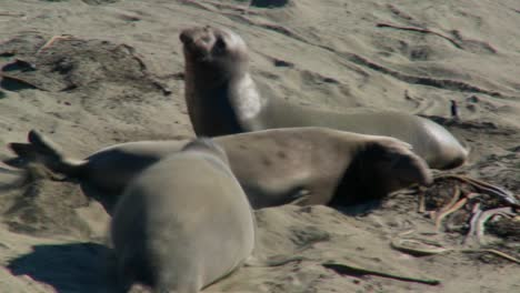 Elephant-seals-fight-on-a-beach