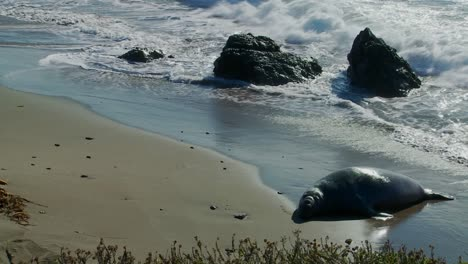 An-elephant-seal-lies-in-the-surf
