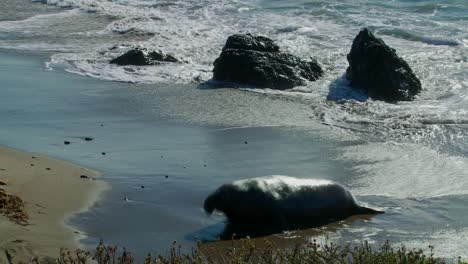 An-elephant-seal-lies-in-the-surf-1