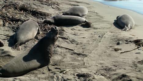 Elephant-seals-lie-on-the-beach