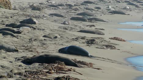 Elephant-seals-move-up-the-beach