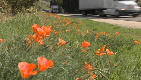 TRucks-and-cars-pass-on-a-California-poppy-lined-highway