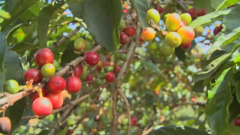 Coffee-beans-grow-on-a-coffee-plantation-in-the-tropics