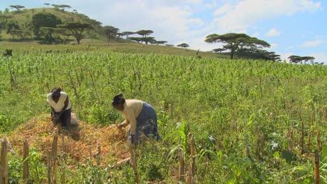 Two-women-work-in-the-fields-on-a-farm-in-Africa-2