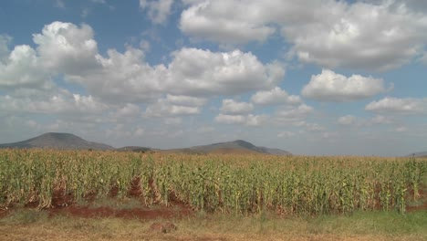 Corn-grows-in-farm-fields-in-Africa