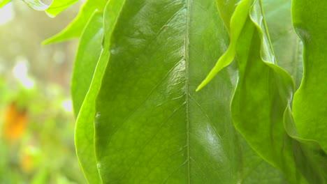Beautiful-green-leaf-in-a-tropical-rainforest