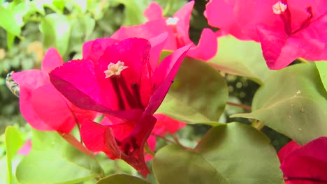 Bougainvillea-flowers-bloom-in-a-tropical-rainforest-1