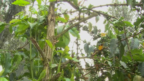 Low-angle-pan-across-coffee-berries-growing-in-a-tropical-location