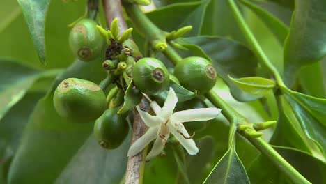 Close-up-of-coffee-beans-growing-and-flowering
