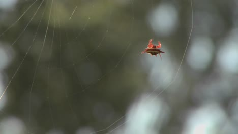 An-African-spider-meticulously-spins-its-web