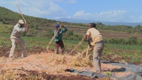 A-circle-of-men-thresh-wheat-on-a-farm-in-Africa