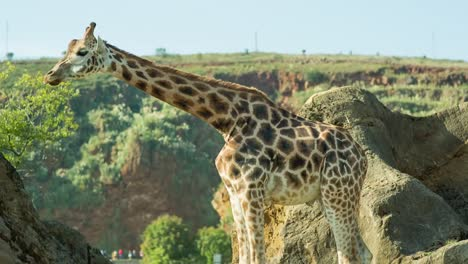 Giraffe-02