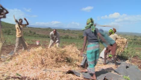 A-circle-of-men-thresh-wheat-on-a-farm-in-Africa-1