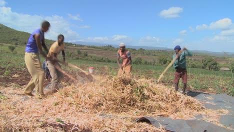 A-circle-of-men-thresh-wheat-on-a-farm-in-Africa-2