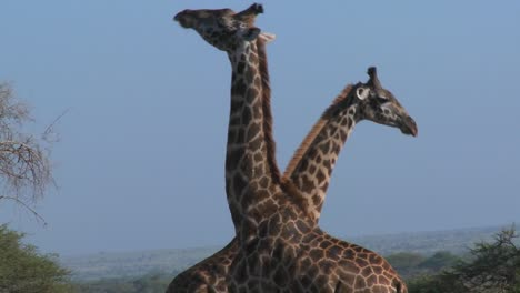 Giraffes-tussle-and-fight-in-a-display-of-mating-behavior