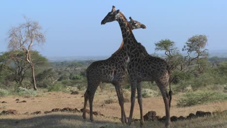 Giraffes-tussle-and-fight-in-a-display-of-mating-behavior-1