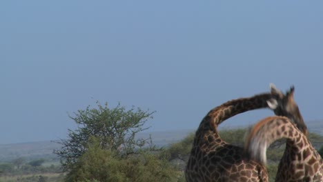 Giraffes-tussle-and-fight-in-a-display-of-mating-behavior-2