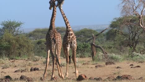 Giraffes-tussle-and-fight-in-a-display-of-mating-behavior-3