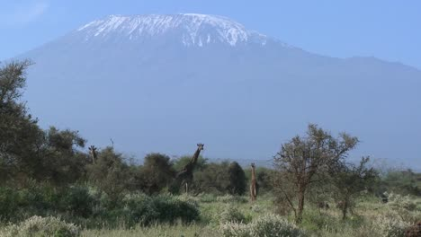 Giraffes-stand-in-front-of-snowclad-Mt-Kilimanjaro-in-Tanzania-East-Africa