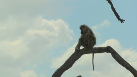 An-African-baboon-sits-in-a-tree-and-contemplates-the-surroundings