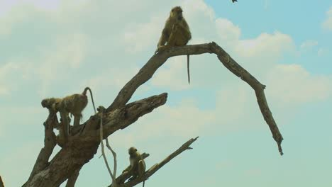 African-baboons-sit-in-a-tree-as-a-family-group