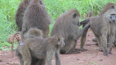 Pan-across-large-family-of-baboons-sitting-on-ground-picking-fleas-and-ticks-off-each-other-in-grooming-ritual
