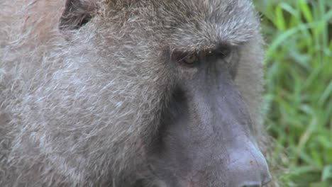 Close-up-of-a-baboon-face-having-fleas-and-ticks-picked-off-in-a-grooming-ritual