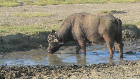 A-cape-buffalo-grazing-at-a-watering-hole-in-Africa