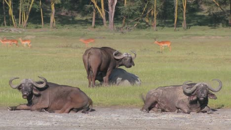 Cape-buffalo-relaxing-on-the-plains-of-Africa