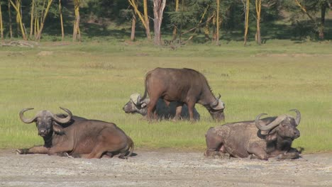 Cape-Buffalo-Relajándose-En-Las-Llanuras-De-África-1