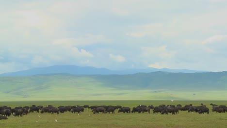 Grandes-Manadas-De-Búfalos-Del-Cabo-Pastan-En-El-Cráter-Del-Ngorongoro-En-Tanzania-África