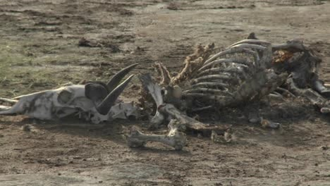 In-a-parched-landscape-the-skeleton-of-a-dead-animal-lies-in-the-desert-as-an-example-of-life-and-death-in-East-Africa