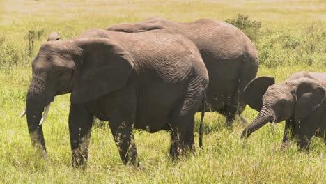 Elefantes-Y-Bebés-Caminan-Por-La-Sabana-Africana