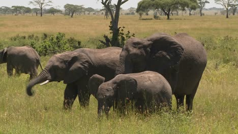 A-group-of-three-elephants-graze-on-the-Serengeti-plains