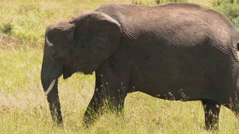 A-lone-elephant-stands-in-yellow-grass-on-the-Serenegeti-plains-of-Africa