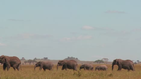 A-spectacular-shot-of-elephants-migrating-across-the-African-plains-on-the-Serengeti