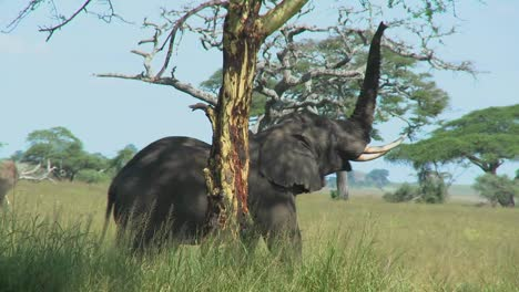 An-elephant-reaches-into-the-trees-with-its-trunk