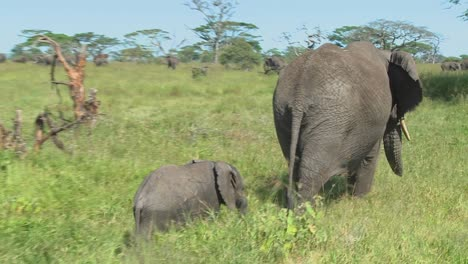 A-mother-elephant-and-her-baby-walk-through-grass-on-the-Serengeti-plains-in-Africa