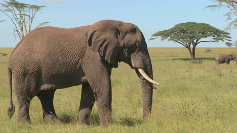 An-elephant-relaxes-on-the-Serengeti-plains-of-Africa