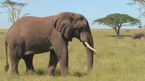 Un-Elefante-Se-Relaja-En-Las-Llanuras-Africanas-Del-Serengeti