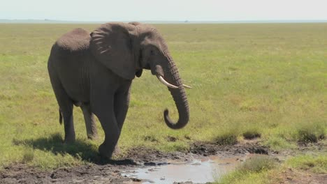 An-elephant-drinks-from-a-watering-hole-on-the-Serengeti-plains