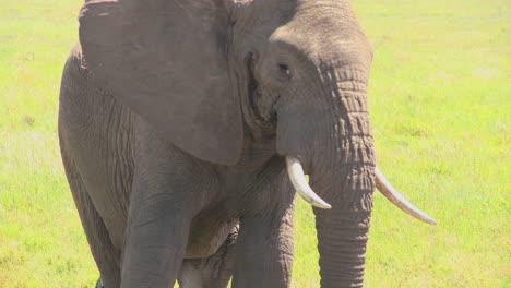 Un-Lindo-Elefante-Mira-A-La-Cámara-Desde-La-Distancia