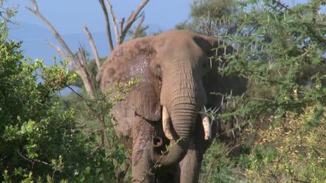 Un-Elefante-Africano-Enojado-Actúa-Amenazador-Como-Si-Fuera-A-Cargar