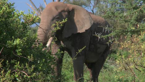 An-angry-African-elephant-acts-threatening-as-if-to-charge-1