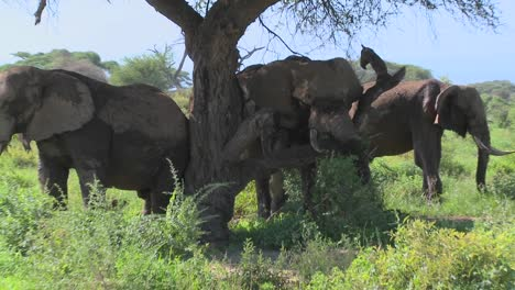 Giant-African-elephants-use-a-local-tree-to-scratch-their-itches