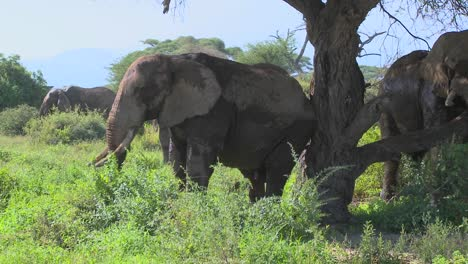 Giant-African-elephants-use-a-local-tree-to-scratch-their-itches-1