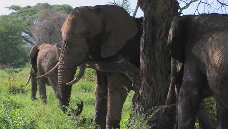 Los-Elefantes-Africanos-Gigantes-Usan-Un-árbol-Local-Para-Rascarse-La-Picazón-2