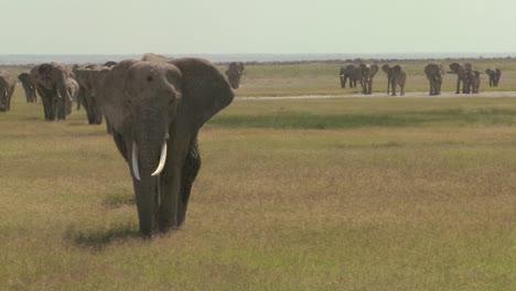 Una-Gran-Manada-De-Elefantes-Africanos-Migran-Por-El-Parque-Nacional-Amboceli-En-Tanzania-1
