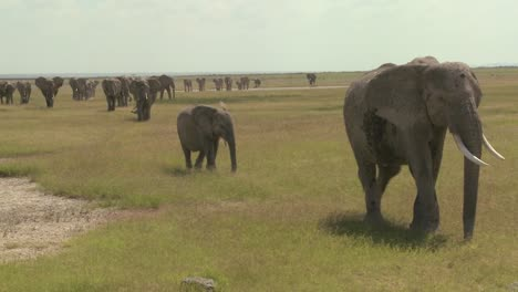A-large-herd-of-African-elephants-migrate-across-Amboceli-National-Park-in-Tanzania-2