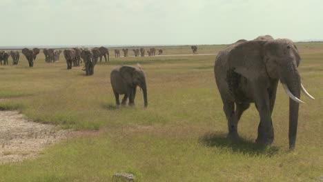 Una-Gran-Manada-De-Elefantes-Africanos-Migran-A-Través-Del-Parque-Nacional-Amboceli-En-Tanzania-2